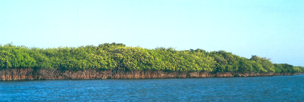 Mangrove forest, San Francisco del Mar, Isthmus of Tehuantepec ~ WLC ~ 2000